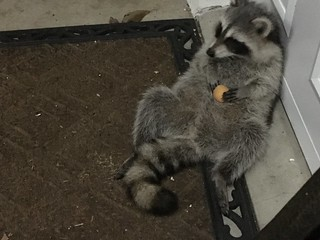 Our baby raccoon visitor thinks cookies taste better when on his belly - photo 2