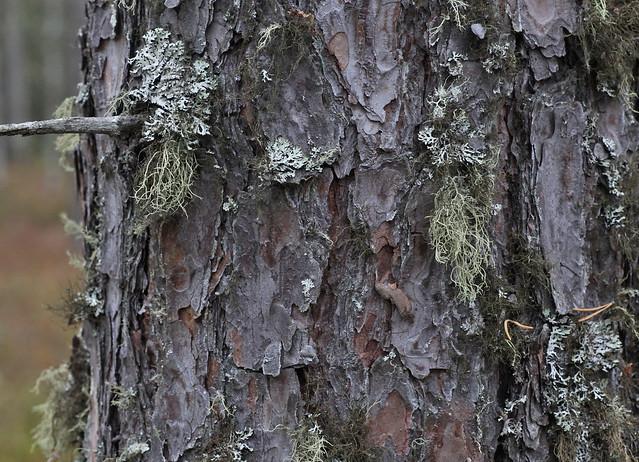 Pinus sylvestris bark