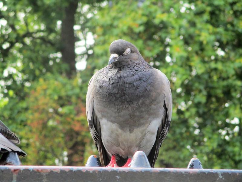 Hyde Park Pigeon