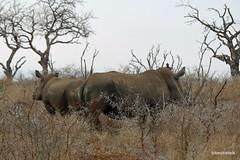 Walking with White Rhino, Mkhaya (24)
