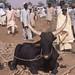 Small photo of Black Fulani bull, Dambatta Market