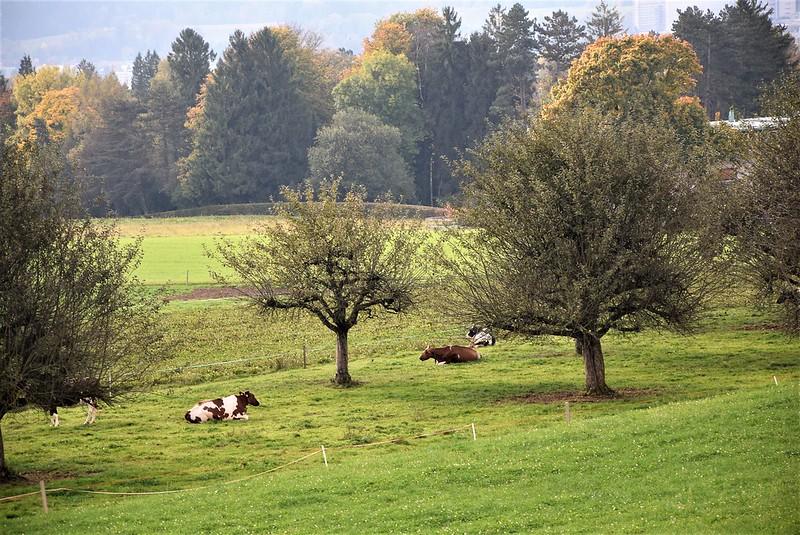 Cows 09.10 (2)