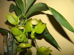 Cycnoches chlorochilon 'Green Giant' species orchid 9-17