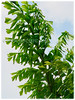 Caryota mitis (Clustered Fishtail Palm, Tufted Fishtail Palm, Burmese Fishtail Palm)