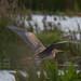 purple heron 33 2017 in flight