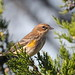 Yellow-rumped Warbler at Sandy Hook
