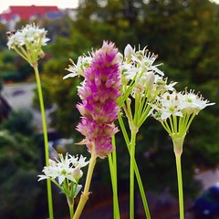 Flowering on the balcony #garlicchives #hyssop