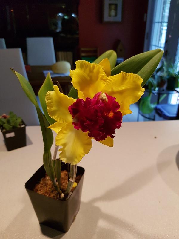 Les orchidées chez Sougriwa 37443601800_c0c5e12423_c