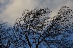 Ash tree DSC02435