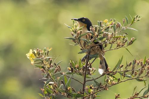 Pantanal: Black-capped Donacobius