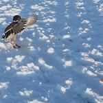 Duck landing on snow covered pond in Cottam, Preston, Lancashire.