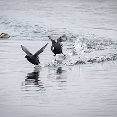 Action shot of Coot as two males start to battle. Carving a furrow in the liquid as they run atop the water. #coot #europeancoot #waterbird #waterbirds #birds #ornithology #nature #natgeo #naturelove #natureshot #wildlife #outdoors #natureblog #outdoorblo
