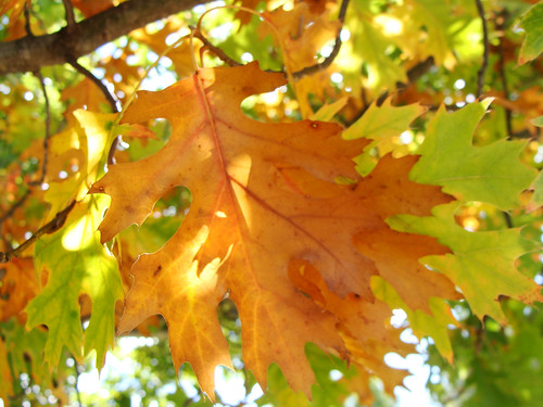 10-24-2017 Oak Leaves-UALR