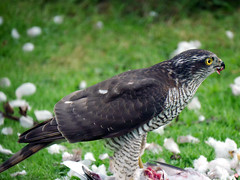 Sparrow hawk Oct 17