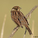 reed bunting 49 2017
