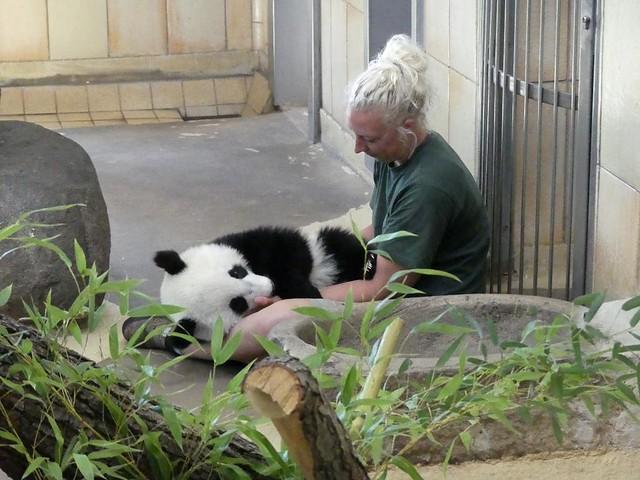 Panda, Tiergarten Schönbrunn