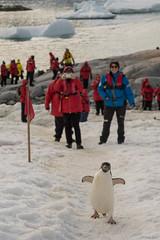 Adélie penguin, Petermann Island