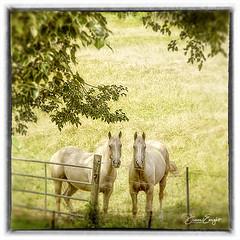White horse buddies