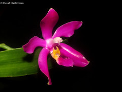 Phalaenopsis pulchra (Distribution : Philippines islands from 100 to 650 m asl) grown at home at 1500 m asl in Colombia