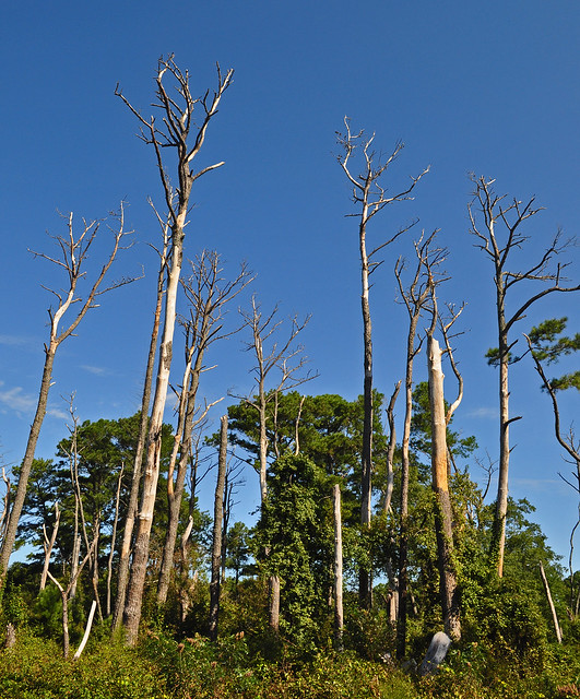 Assateague with Dead Pines (3)