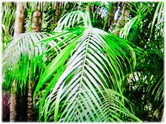 Mesmerizing bright green pendulous leaflets of Oncosperma tigillarium (Nibung Palm, Nibong Palm, Nibung, Nibong), 9 Oct 2017