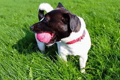 Jack Russell and her Ball