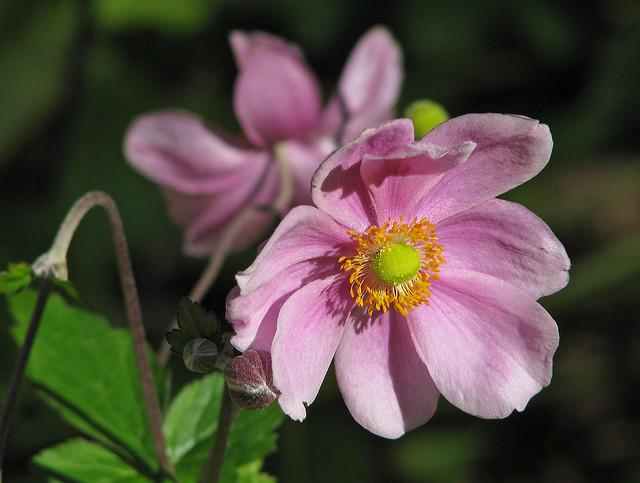 pink anemones of October