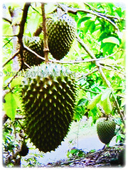 Prolific fruit tree of Annona muricata (Soursop, Prickly Custard Apple, Durian Belanda in Malay) that can grow up to 4.5 m tall, 22 Oct 2017