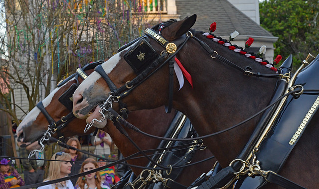 Budweiser Clydesdales Up Close & Personal!