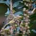 White-eyed Vireo 092417b copy
