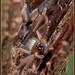 Social Huntsman (Delena cancerides) colony by caitlinhenderson