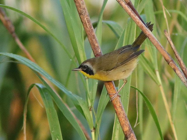 Common Yellowthroat 01-20171015