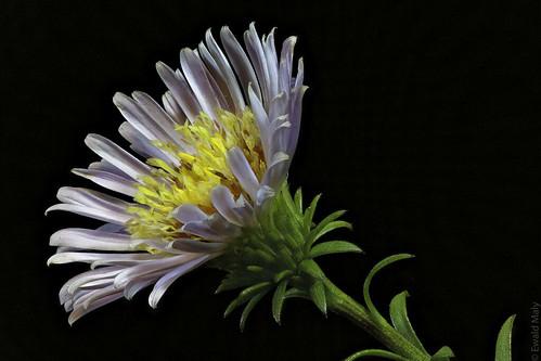 Eastern Daisy Fleabane (Erigeron annuus)