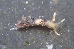 トモエミノウミウシ属の一種 9