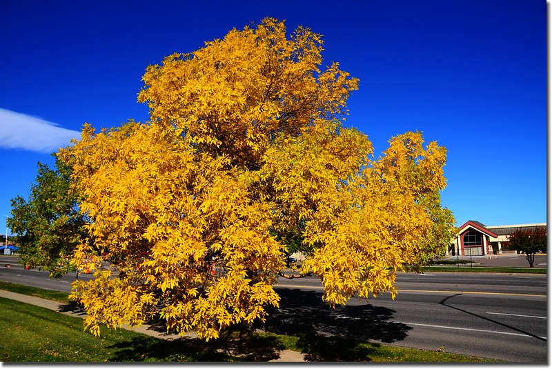 2017 Maple in Fall, Boulder, Colorado  (1)