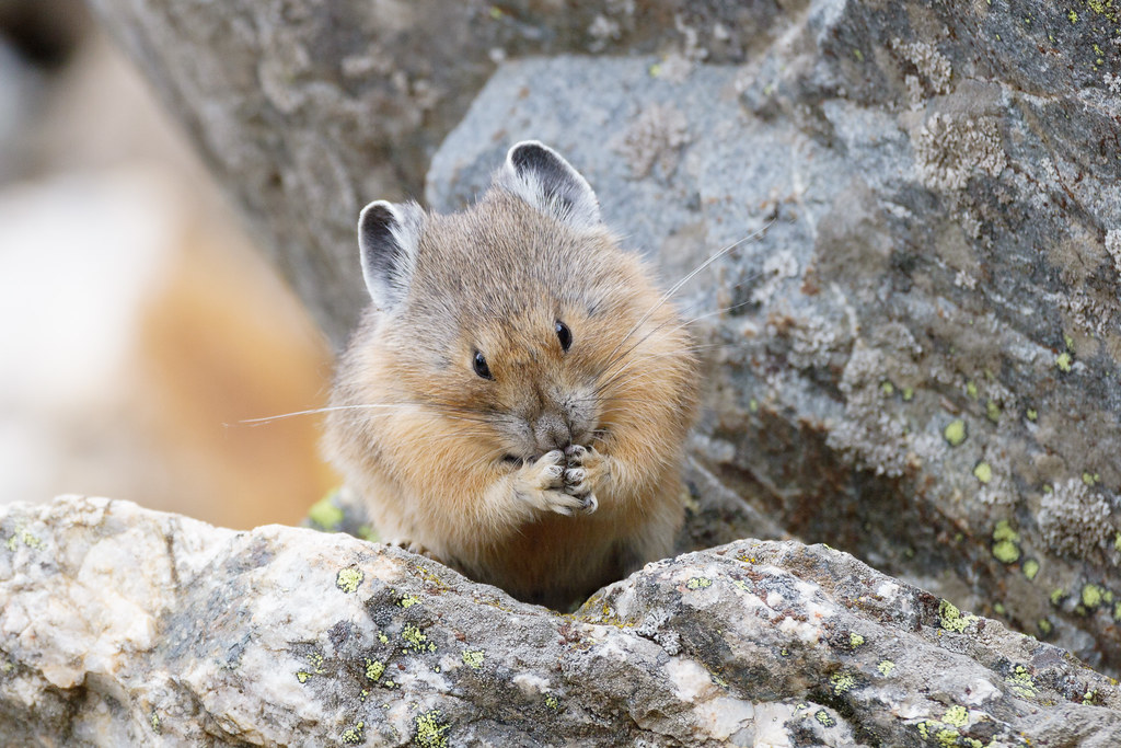 An American pika sits with its fingers held together in Grand Teton National Park