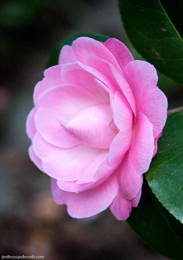 Camellia 03