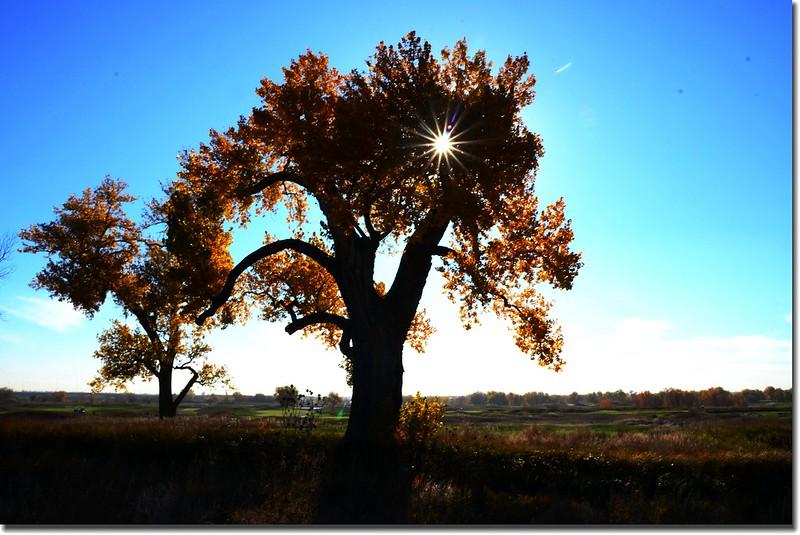 2017 Maple in Fall, Boulder, Colorado  (41)