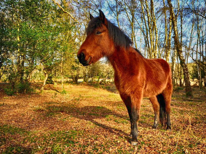 New Forest Pony. Credit Saffron Blaze