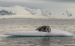 A moulting Leopard seal
