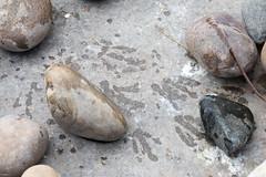 African Penguin Footprints