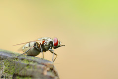 Pregnant Fly..