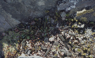 Moth larvae swarm over plants newly out of snow. Gross Glockner June 1977