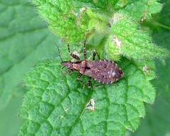 Ant Damsel Bug - Himacerus mirmicoides
