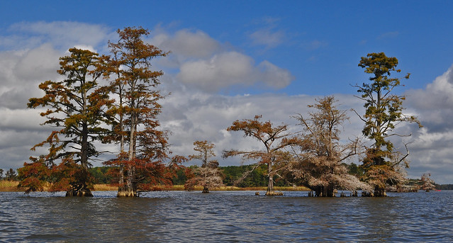 Chickahominy River  with Taxodium distichum (Bald Cypress) 10-7-17 (20)