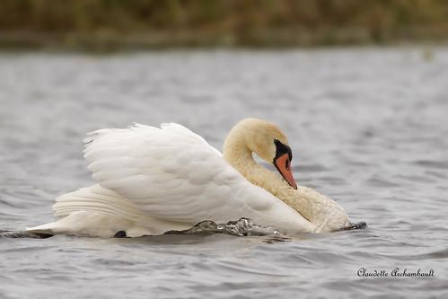 Cygne tuberculé, Mute Swan