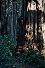 special redwood