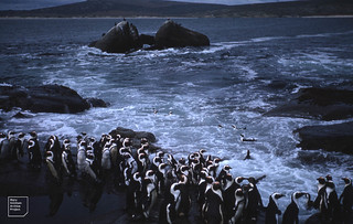 Jackass penguins, about to go to see Jutten Island, 1959