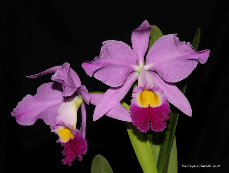 Cattleya eldorado mito 37794080342_d978fa500a_c