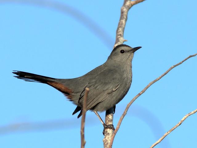 Gray Catbird 20171019